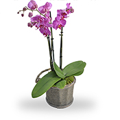 Orchidee roze met pot