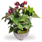 Rode Anthurium