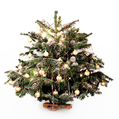 Nordmann mini kerstboom Champagne